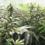 Cultivo de semillas de marihuana regulares en interior