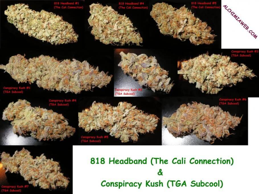 Cogollos de marihuana cosechados