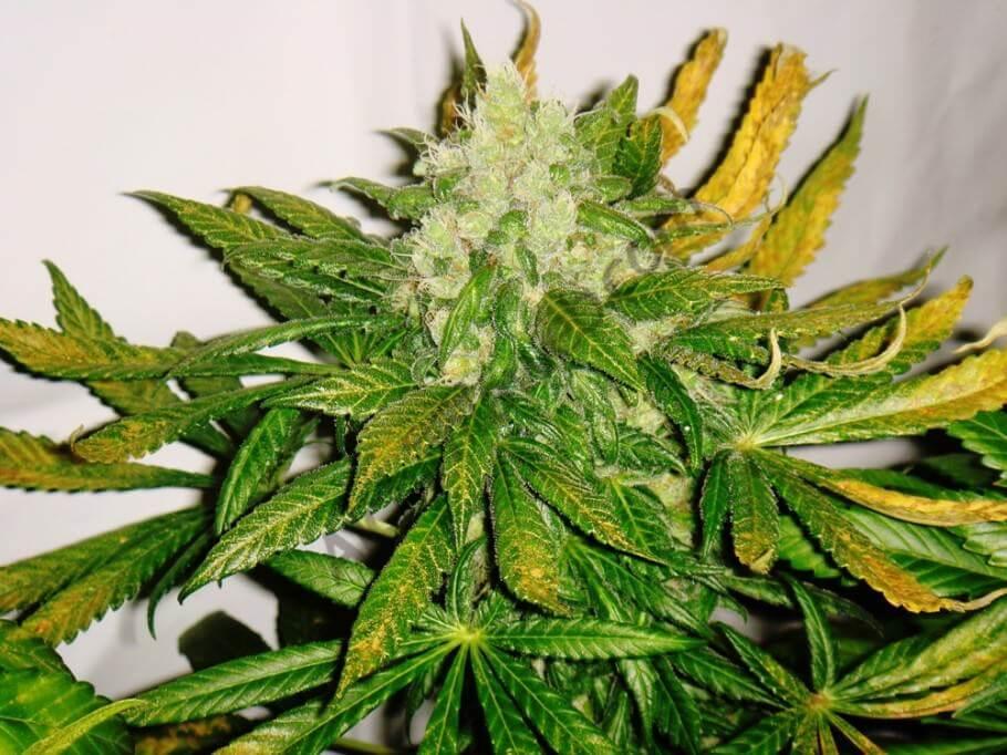 marihuana ChemKush test Line de Philosopher Seeds