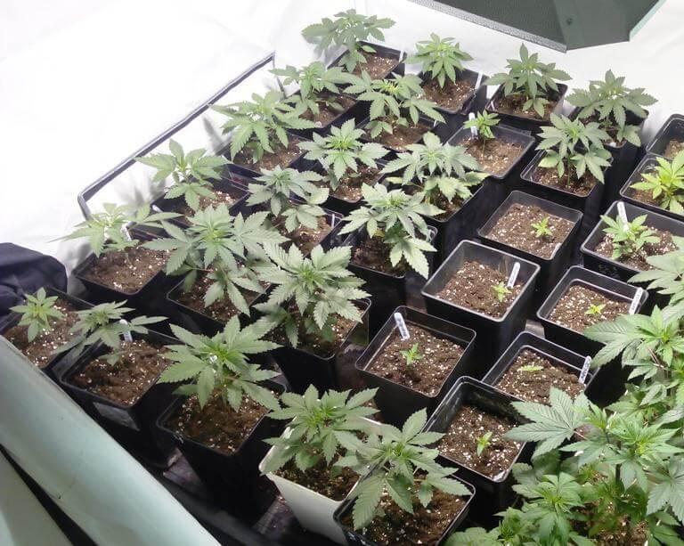 Plantas que comparten genética Chemdog