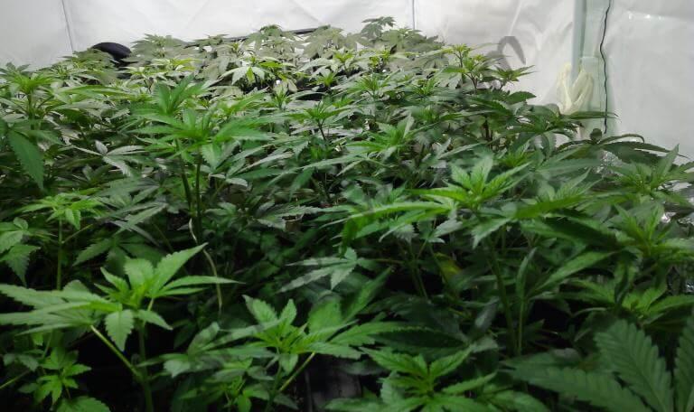 Crecimiento abarcando todo el espacio de cultivo