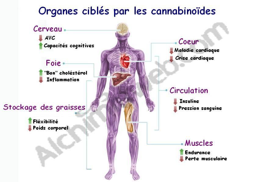 Los cannabinoides actúan sobre varios órganos del cuerpo humano
