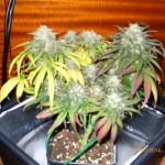 Cultivar marihuana en espacios reducidos