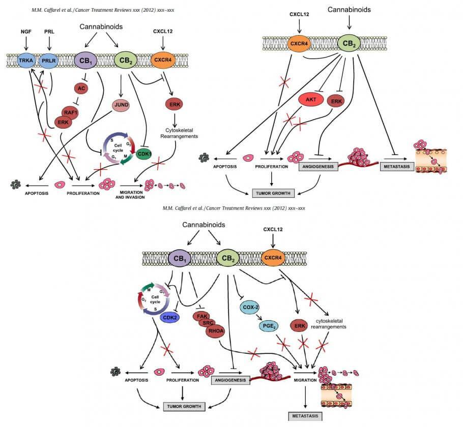 Explicación de la acción de los cannabinoides contra los tumores mamarios