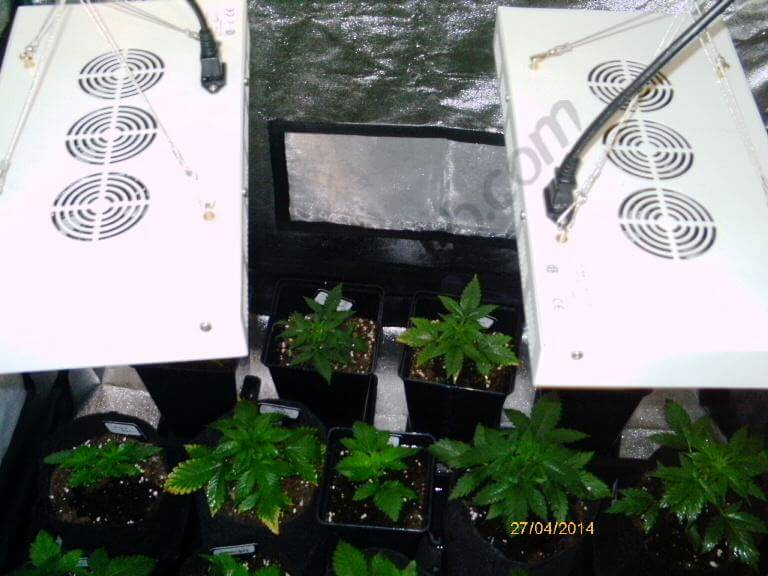 Cultivo con dos paneles de Led 120w x 2