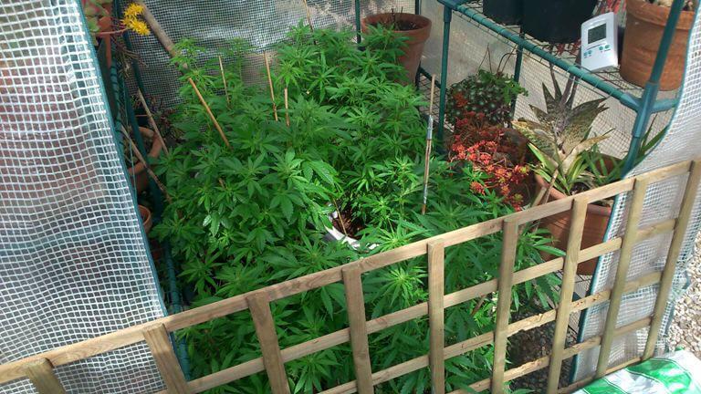 Marihuana floreciendo con el invernadero abierto