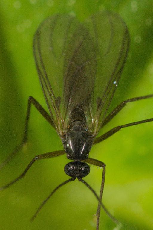 Ejemplar adulto de mosca del suelo