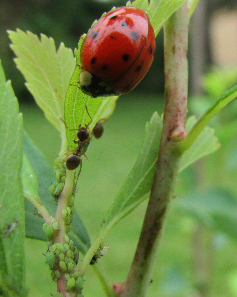 ladybug aphids ant