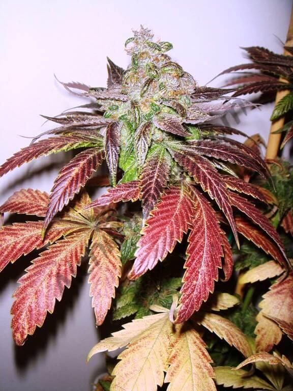 Marihuana con hojas rojas