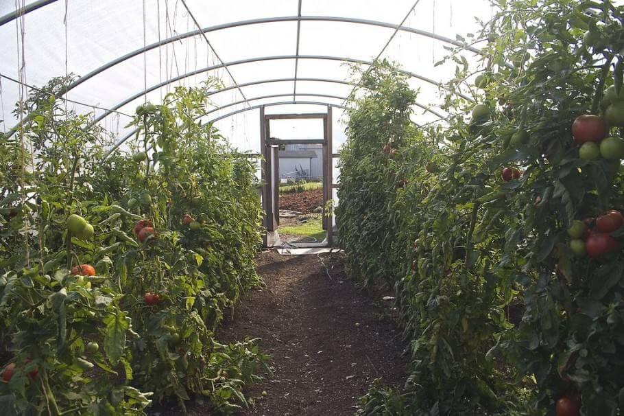 El Mildiu puede causar estragos en cultivos en invernaderos