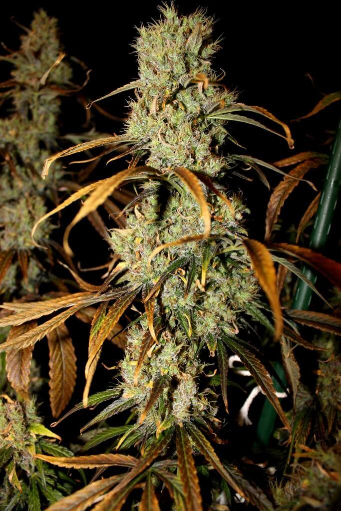 Marihuana Zamal