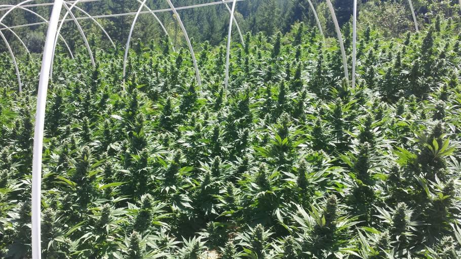 Cultivo en exterior de Humboldt Seeds Organization