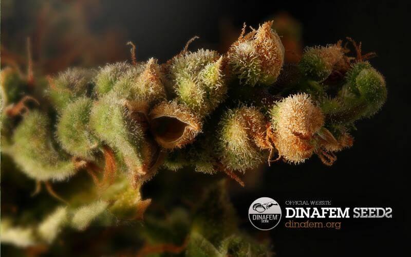 Marihuana Dinafem
