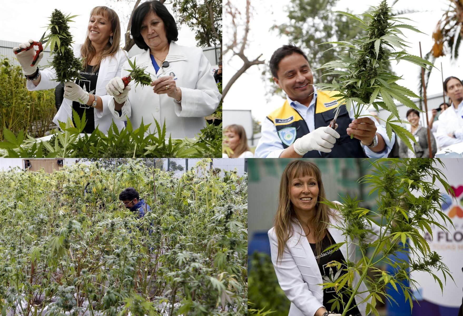Primer cultivo medicinal por parte del estado en Chile