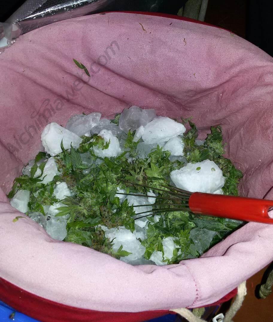 Cogollos de marihuana listos para la extraccion