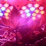 Cultivo orgánico de cannabis con luz led