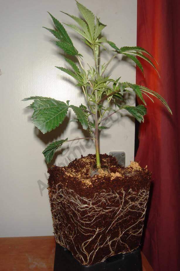 Raíces de la planta colonizando la nueva maceta