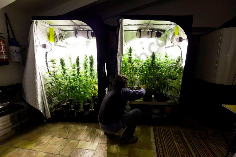 Seguimiento de cultivo de spicy cbd blog del grow shop for Cultiver cannabis interieur