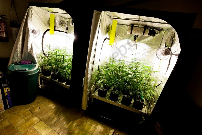Seguimiento de cultivo de spicy cbd blog del grow shop for Seguimiento cultivo interior