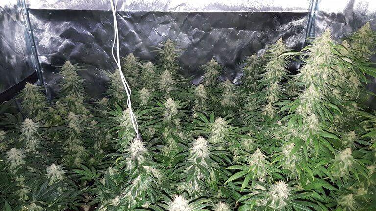 Marihuana mataró Blue CBD