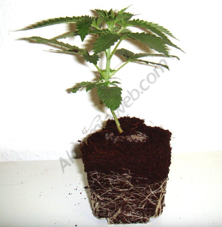 Raíces y planta antes del trasplante