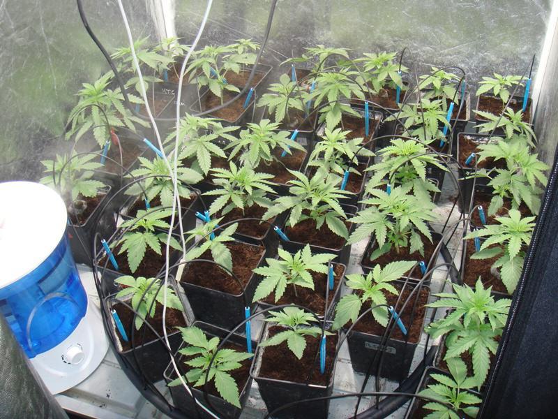 Plantas regulares Bubble Kush al final de la segunda semana de crecimiento.