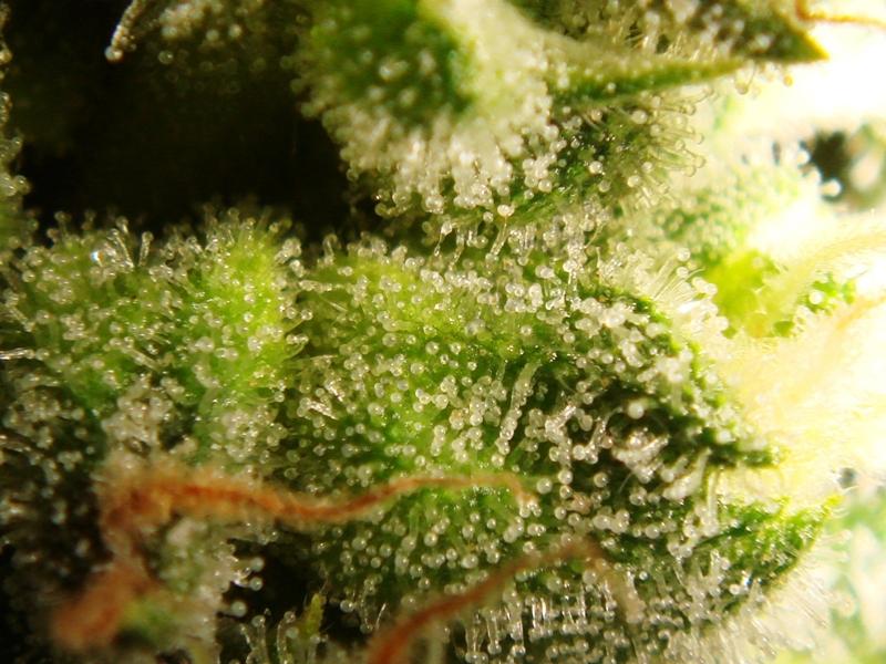 Tricomas con 33 días de floración de Bubble Kush
