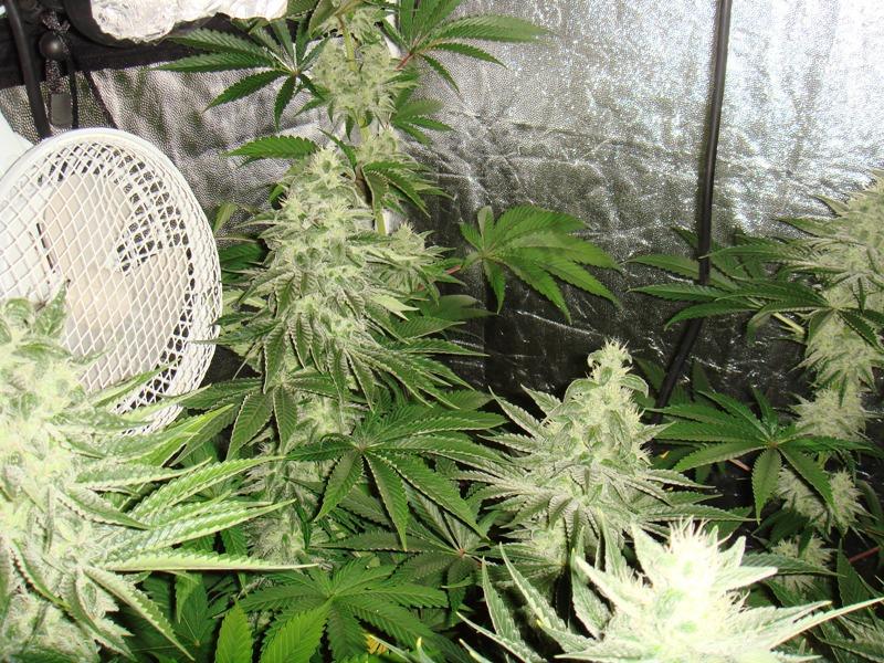 Aspecto de las plantas con 38 días de floración