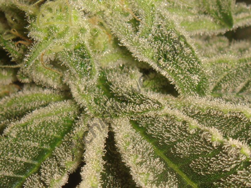 Tricomas de calidad con 42 días floración Bubble Kush regular