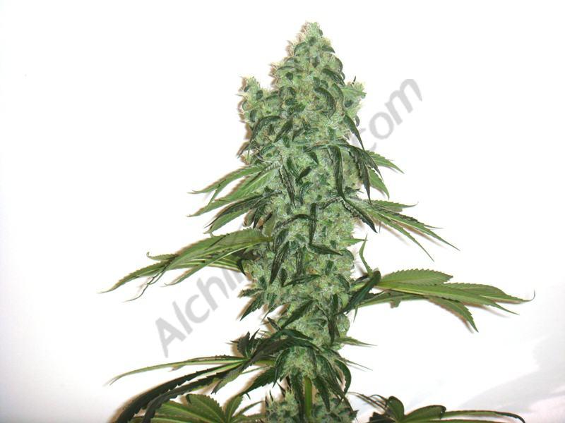 Marihuana cultivada en one big bud con 50 días floración