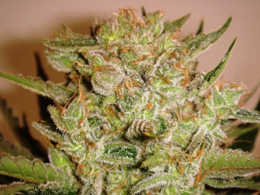 Cogollo principal de Bubble Kush con 55 días floración