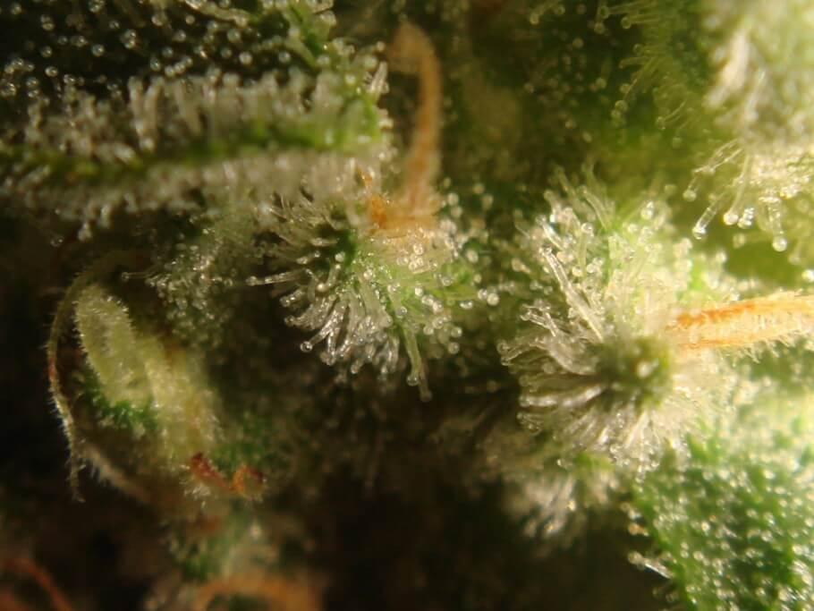 Tricomas de cannabis con 38 días de floración