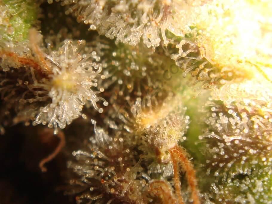 Tricomas con 55 días de floración