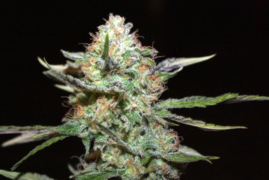 Marihuana floreciendo