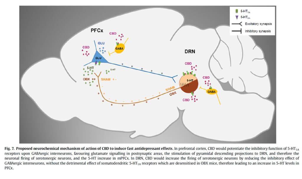 Efectos antidepresivos y ansiolíticas del CBD