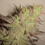 Detalle cogollo de marihuana fenotipo morado Grape Ape