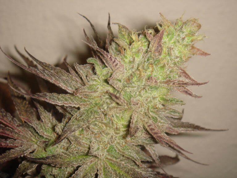 Cultivo de marihuana Grape Ape
