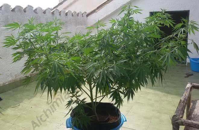 ¿Cómo doblar las plantas de marihuana?