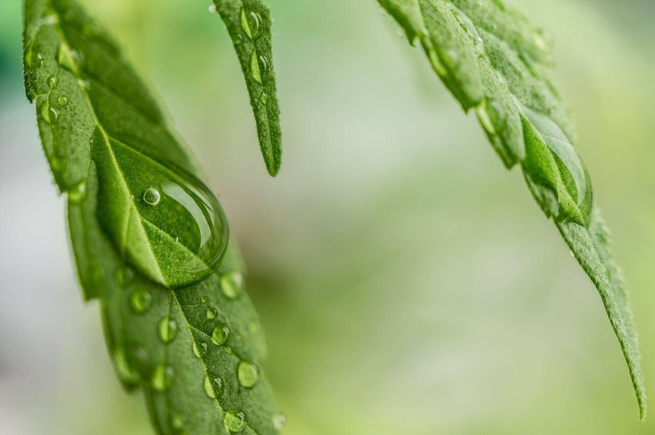 Temperatura y humedad en el cultivo de marihuana