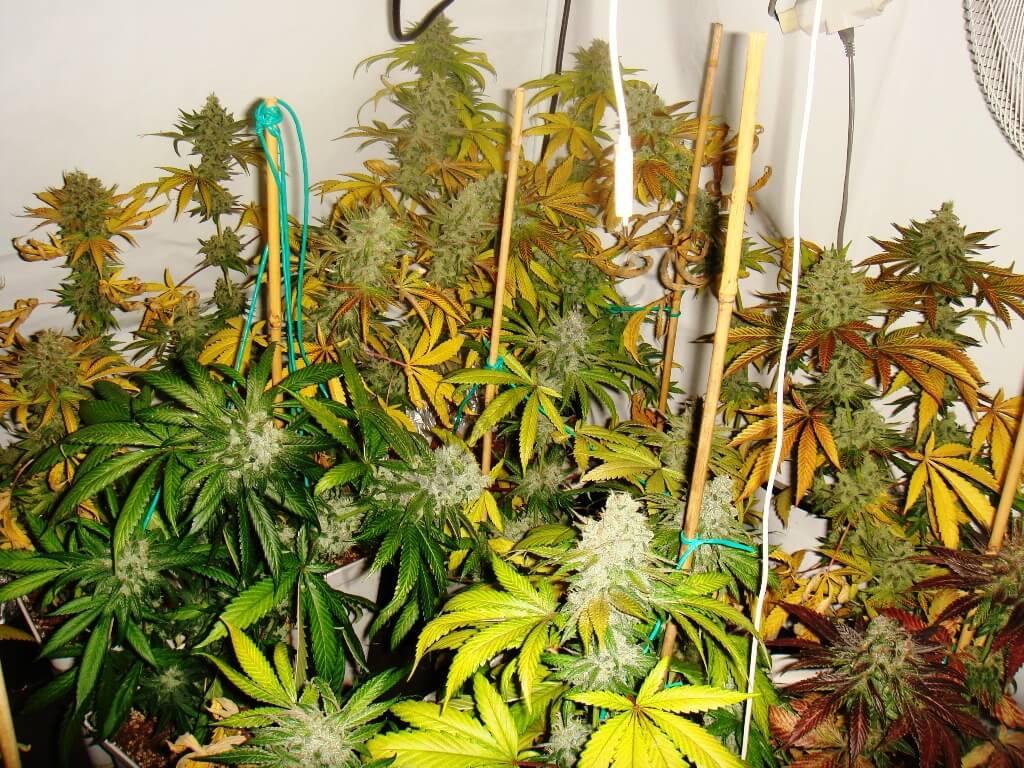 Final del cultivo con las plantas amarillas