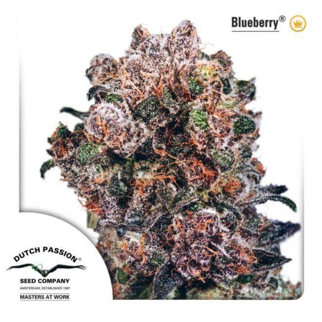 La famosa Blueberry de Dutch Passion