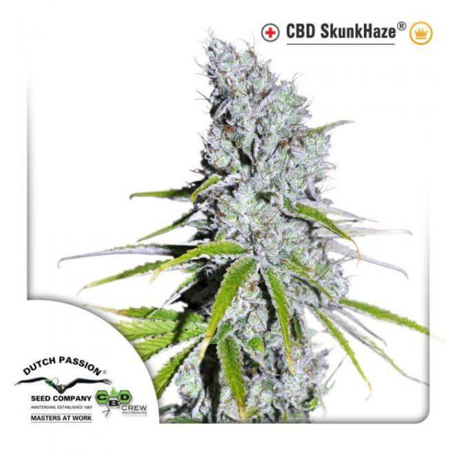 CBD SkunkHaze, variedad rica en CBD de Dutch Passion