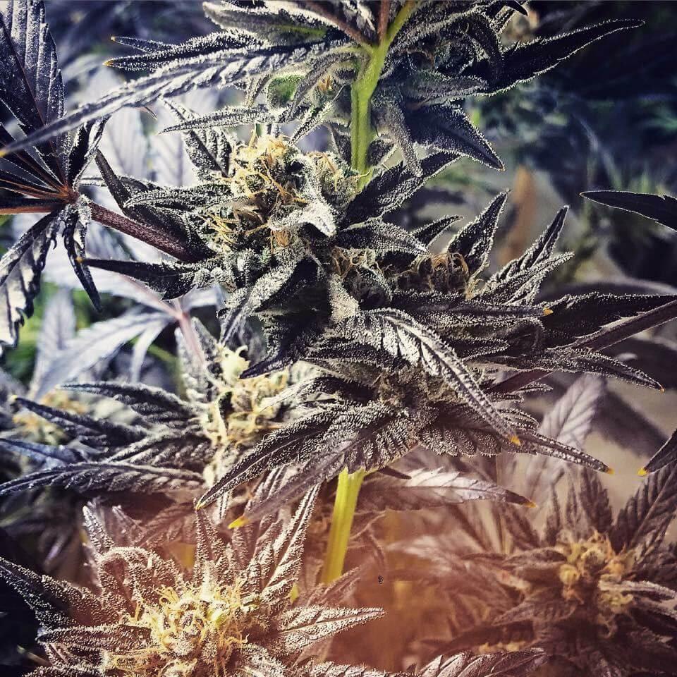 Marihuana Harybo en interior