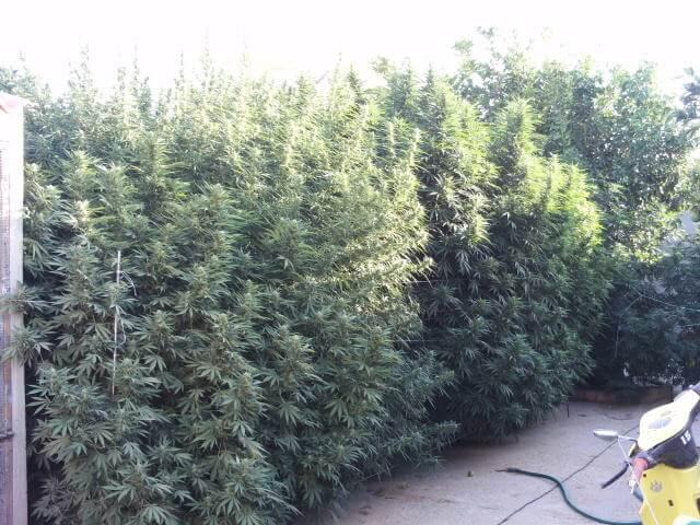 Plantas de gran producción en exterior