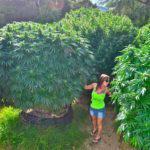 Planta de marihuana grande y productiva con Mz Jizz