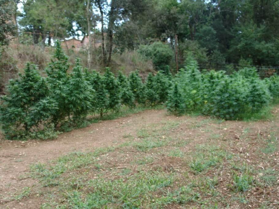 Marihuana en pleno suelo