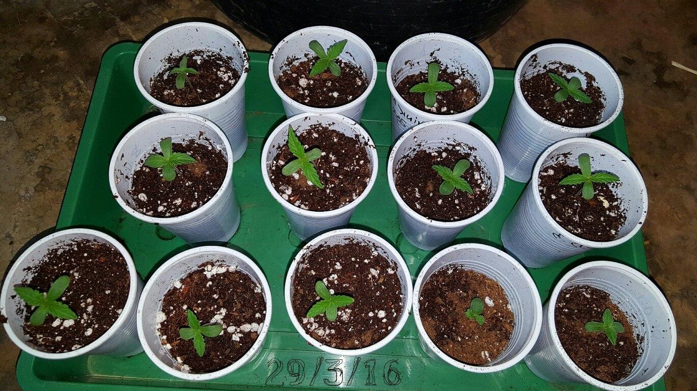 Tips para el cultivo de plantas de marihuana