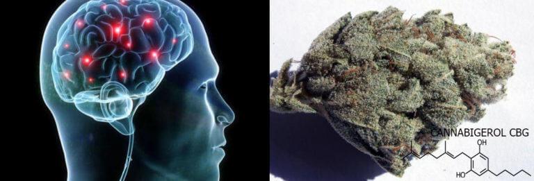 Cannabigerol (CBG): El origen de los cannabinoides