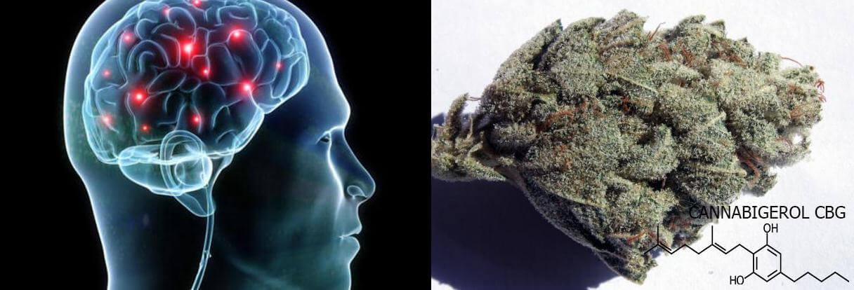 El CBG tiene propiedades neuroprotectoras
