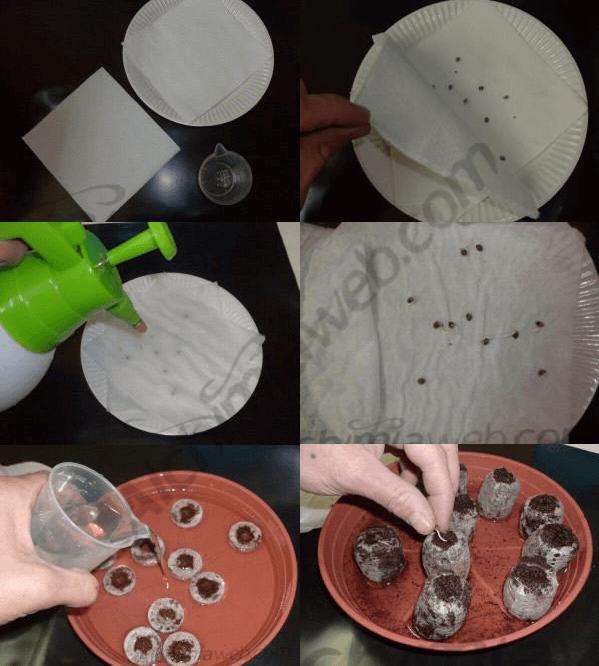 Como germinar semillas de cannabis